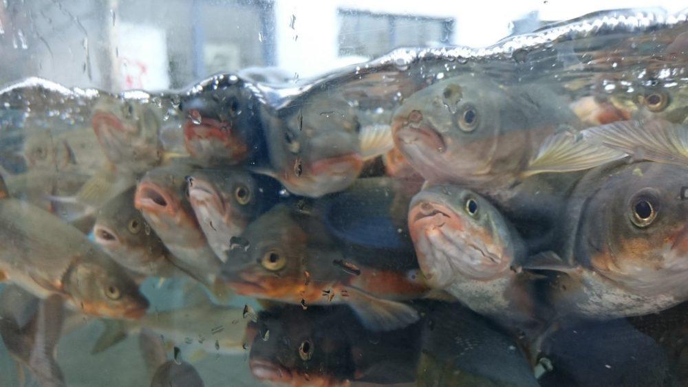 河川環境楽園 アクア・トトぎふ 淡水魚