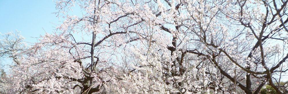 偕楽園 六名木