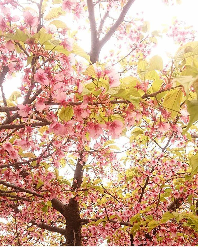 桜 マクロレンズ