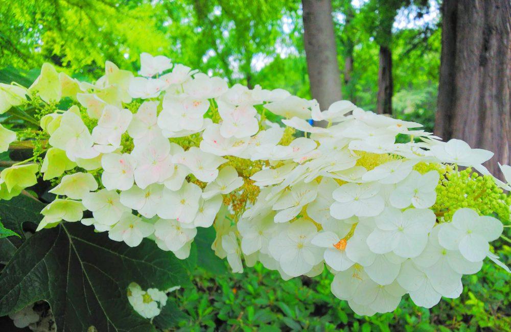 相模原北公園 紫陽花