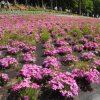 """デートやお出かけにピッタリ!今年の春は秩父・羊山公園の""""圧倒的な芝桜""""を見に行こう♡"""